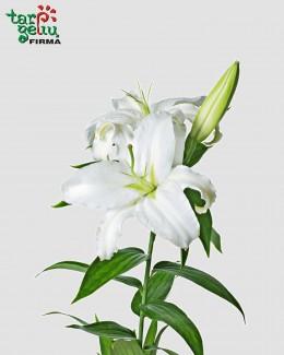 Balta lelija