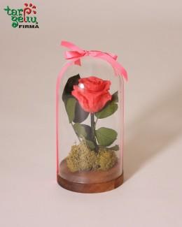 """Mieganti rožė po stiklu"""