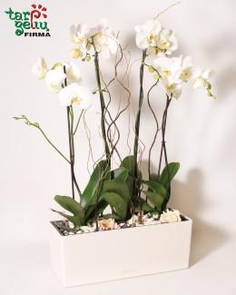 Baltų orchidėjų kompozicija