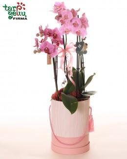 Orchidėja (Phalaenopsis) dėžutėje