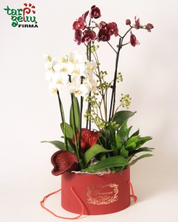 Puošniosios orchidėjos dėžutėje