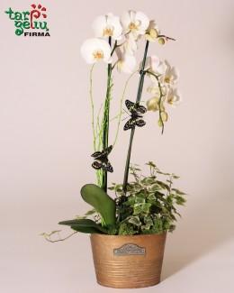 """""""Puošnioji orchidėja"""""""