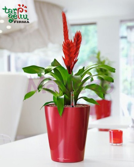 Guzmania and planter DELTINI