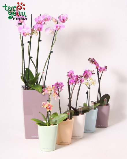 Žavi mini orchidėja + vazonas