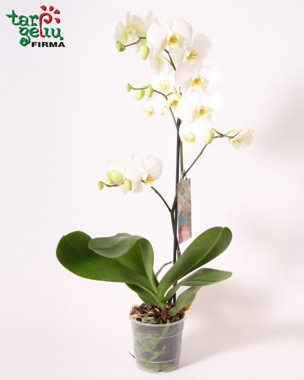 Gėlė Orchidėja