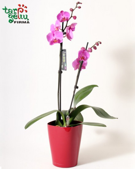 Orchid and planter DELTINI