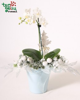 Christmas composition with mini orchid