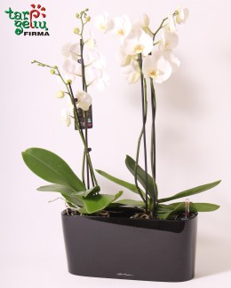 Orchid and Window Box