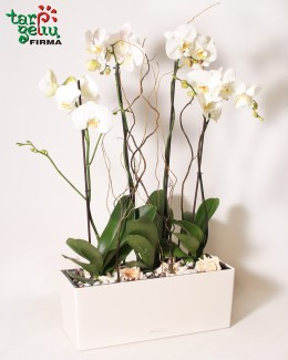 White PHALAENOPSIS Arrangement