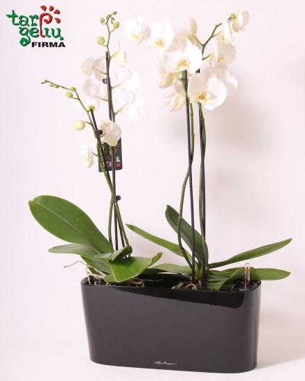 Orchidėja ir palangės vazonas