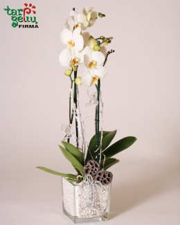 Žiemos orchidėja