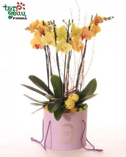 Šventinė orchidėja dėžutėje
