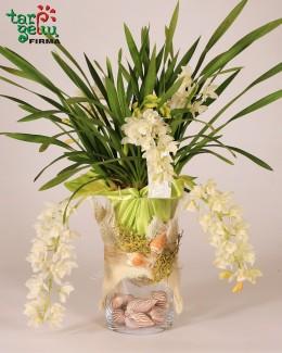 """Smulkiažiedė orchidėja """"Cimbidis"""""""