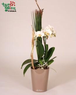 Žavi orchidėja + vazonas