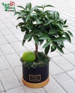 Citrusinis augalas