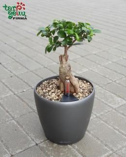 Fikusas bonsai