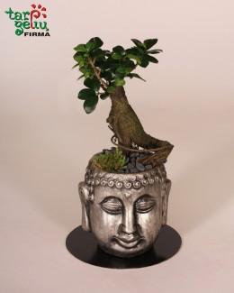 "Bonsai ""Buda"""