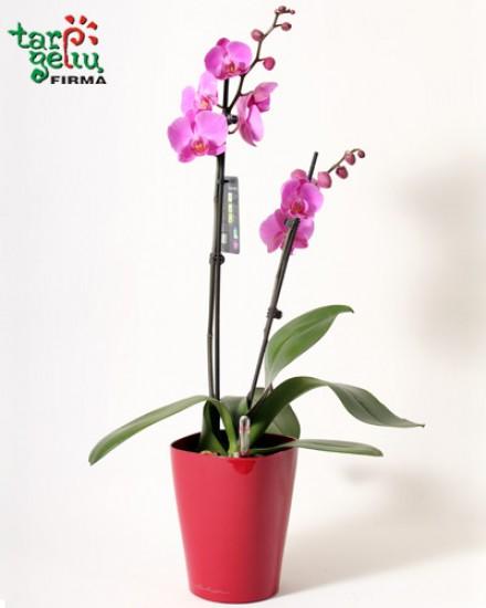 Орхидея и кашпо DELTINI