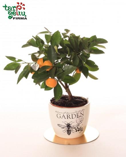 Citrusininis augalas