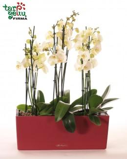 Композиция из oрхидеи PHALAENOPSIS