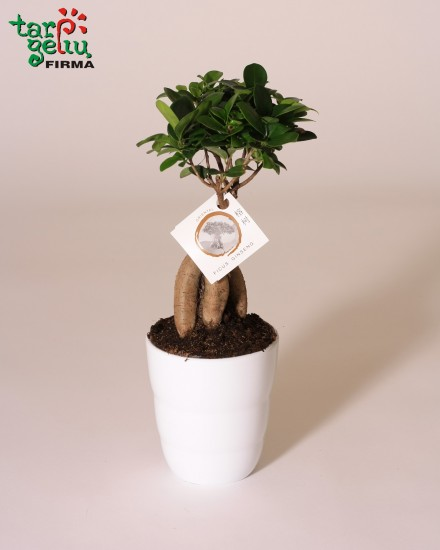 Bonsai KLEVAS