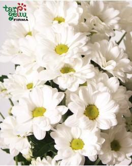 Balta chrizantema