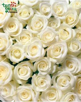 Balta rožė