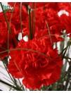Raudonas gvazdikas